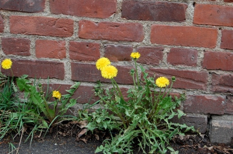 dandelions and bricks